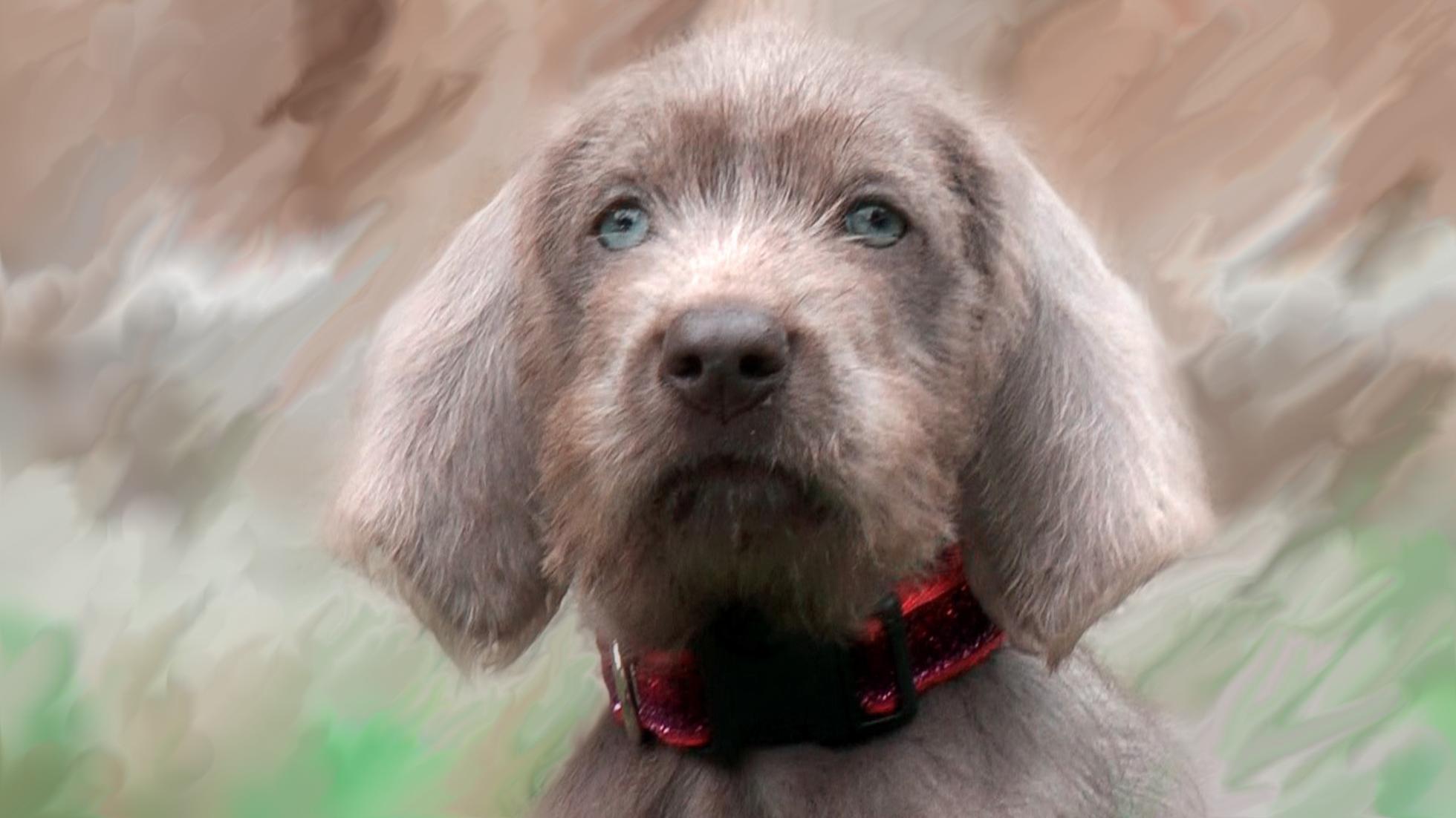 Slovakian Rough-haired Pointer Dog: Slovakian Gundog Training With Jenson And Maise The Slovakian Rough Haired Pointers Breed