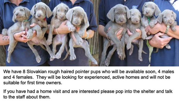 Slovakian Rough-haired Pointer Puppies: Slovakian Litter Of Slovak Pups At Rspca Brighton Breed