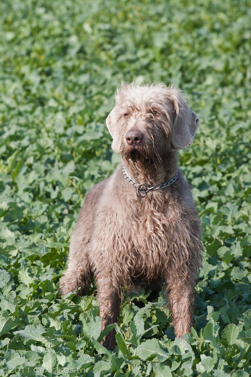 Slovakian Rough-haired Pointer Dog: Slovakian Lovely Slovakian Rough Haired Pointer Dog Breed
