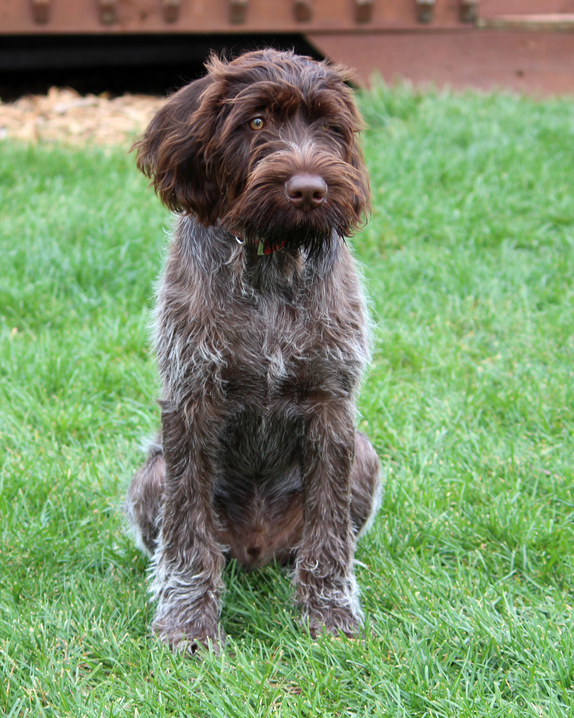 Slovakian Rough-haired Pointer Puppies: Slovakian Sitting German Wirehaired Pointer Dog Breed