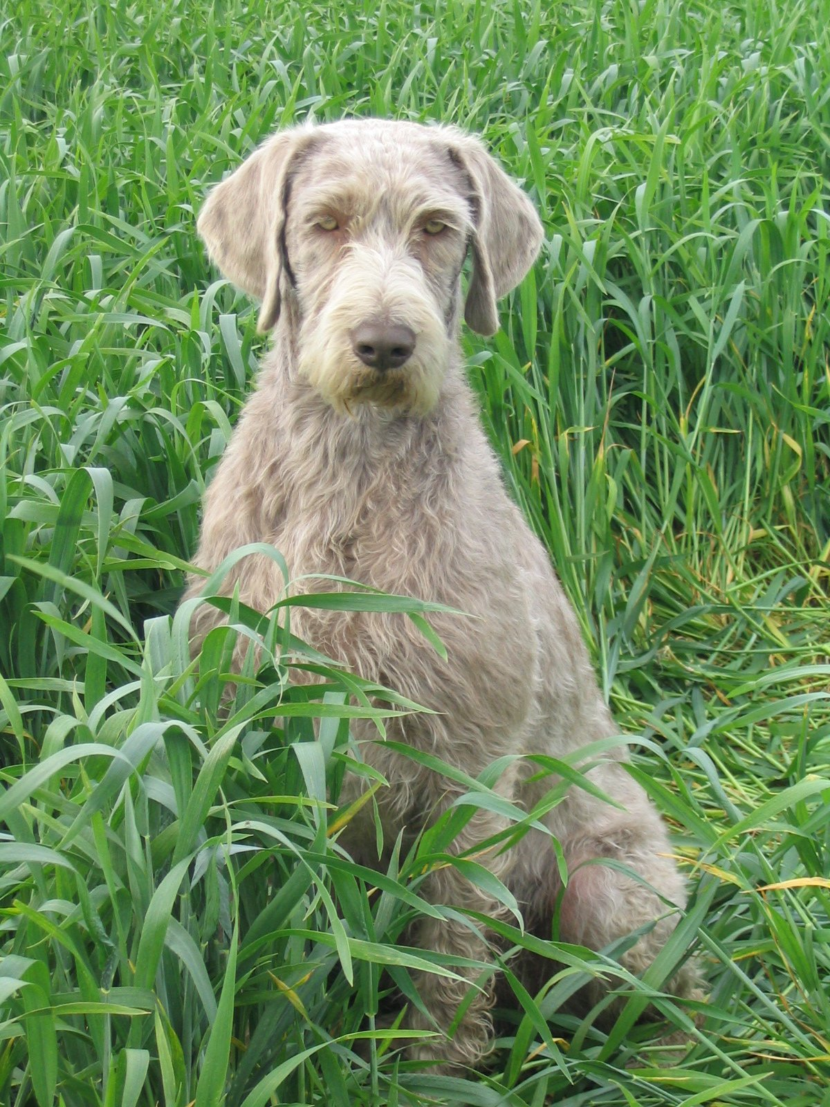 Slovakian Rough-haired Pointer Puppies: Slovakian Slovakian Rough Haired Pointer Breed