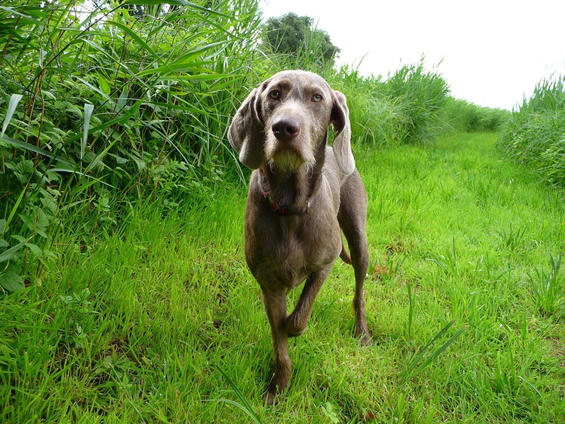 Slovakian Rough-haired Pointer Puppies: Slovakian Slovakian Rough Haired Pointer Dog Breed