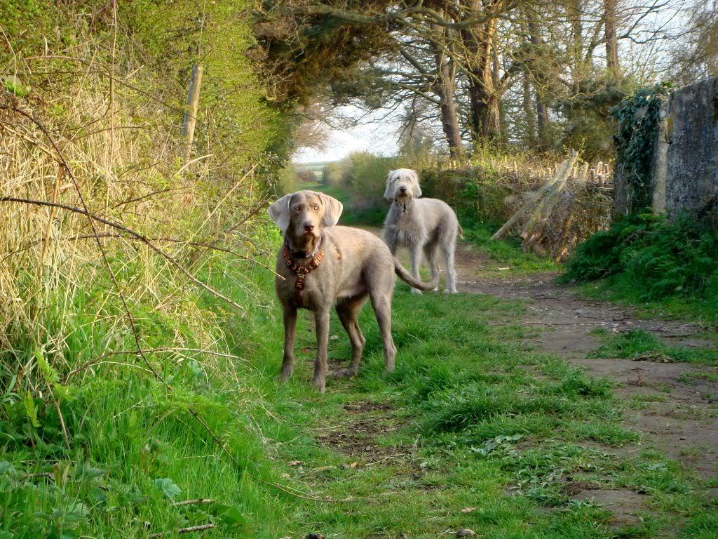 Slovakian Rough-haired Pointer Dog: Slovakian Slovakian Rough Haired Pointer Dogs Breed