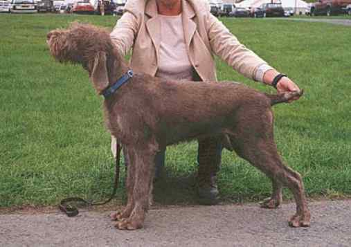 Slovakian Rough-haired Pointer Dog: Slovakian Srps Breed
