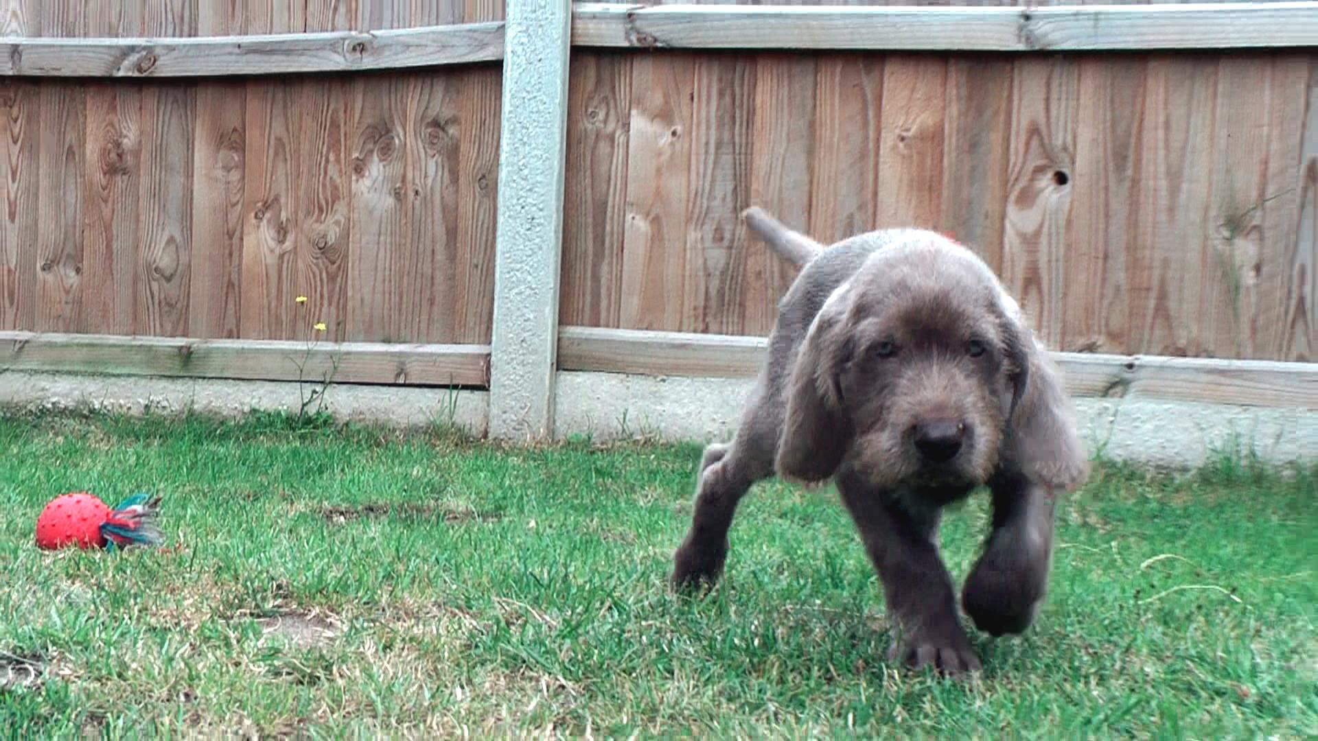 Slovakian Rough-haired Pointer Dog: Slovakian Walking Slovakian Rough Haired Pointer Puppy Breed