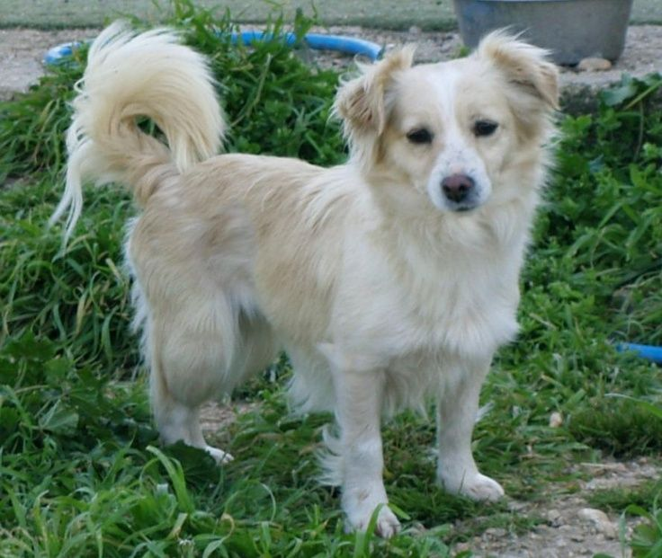 Small Greek Domestic Dog: Small Breed