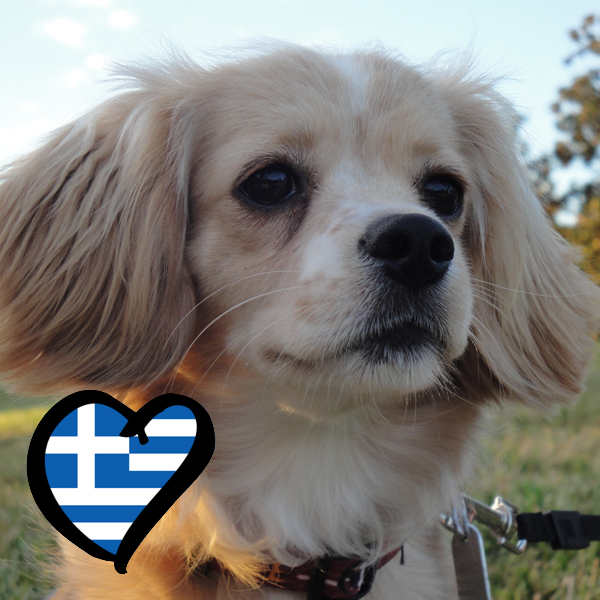 Small Greek Domestic Dog: Small Eurovision In Dog Breeds