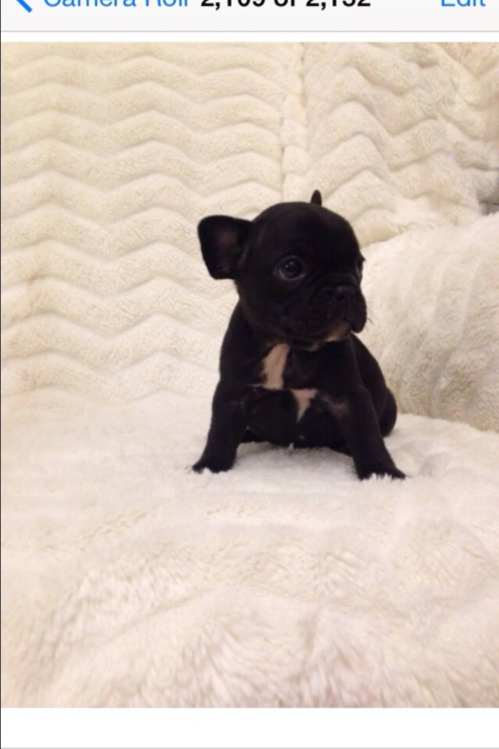 Small Greek Domestic Puppies: Small French Bulldog Breed