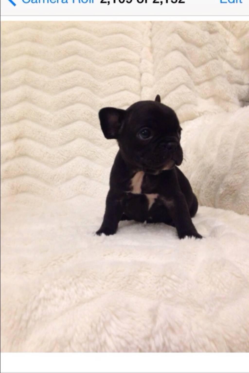 Small Greek Domestic Puppies: Small French Bulldog Breed