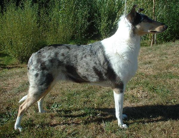 Small Greek Domestic Puppies: Small Smooth Collie Dog Breed