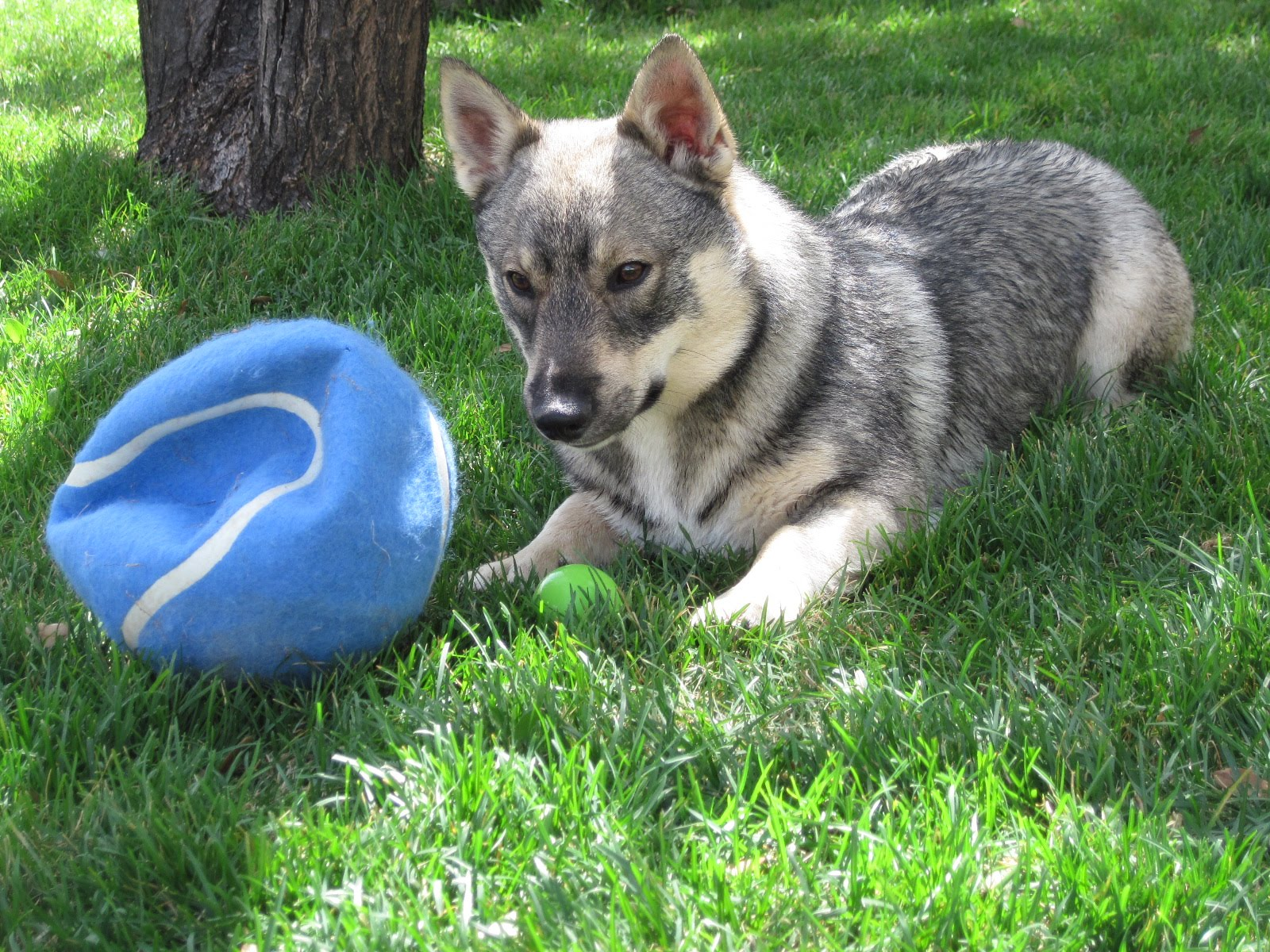 Small Greek Domestic Puppies: Small Swedish Vallhund With A Ball Breed