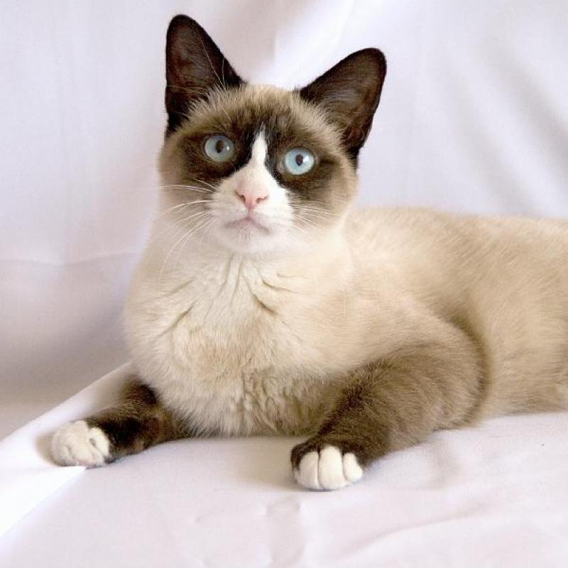 Snowshoe Cat: Snowshoe Breed