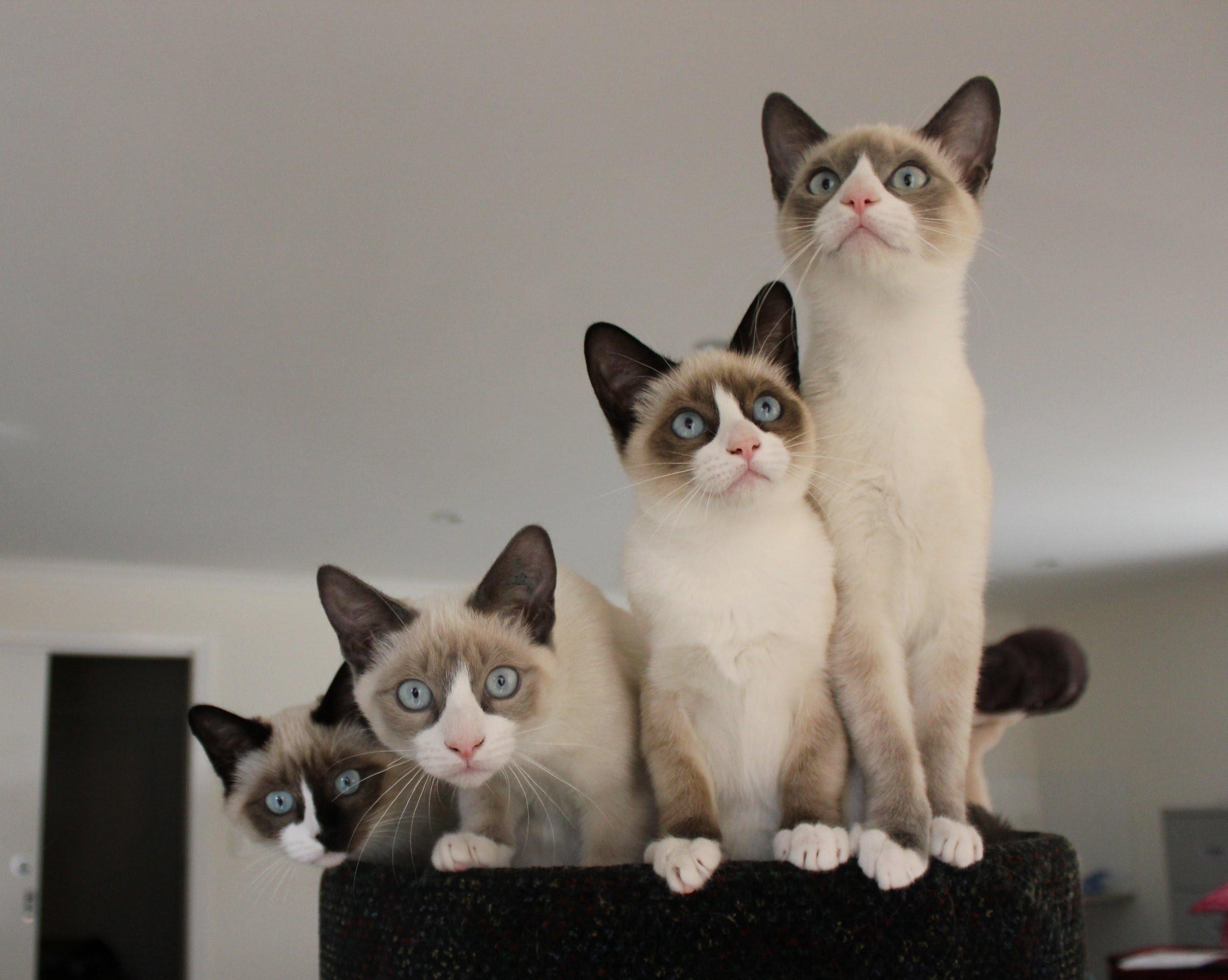 Snowshoe Kitten: Snowshoe Cutesnowshoekittens Breed