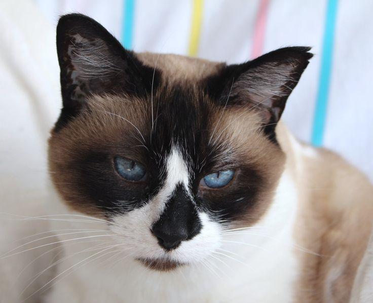 Snowshoe Cat: Snowshoe Httpccfunnycatscomcwp Contentcuploadscccsnowshoe Cat Grumpy Jpg Breed