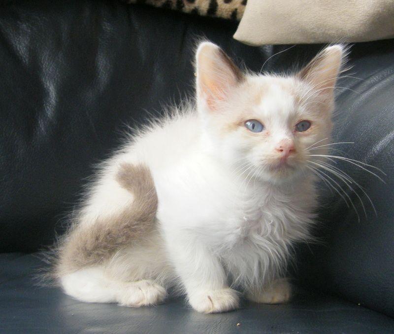 Snowshoe Kitten: Snowshoe Ragdollcatsnowshoe Breed