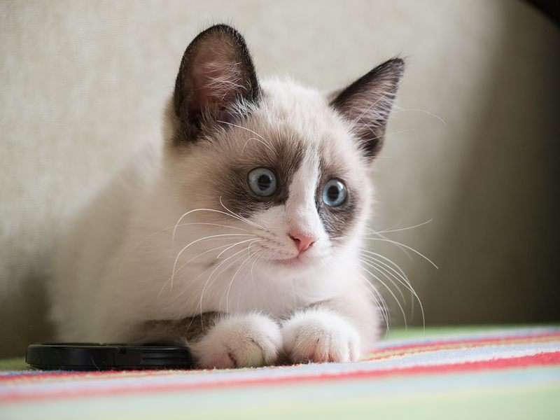 Snowshoe Kitten: Snowshoe Siamese Snowshoe Cats Adoption Breed