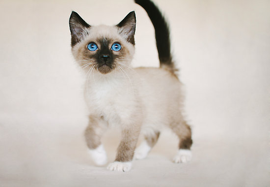 Snowshoe Kitten: Snowshoe Snow Shoe Kitten Breed