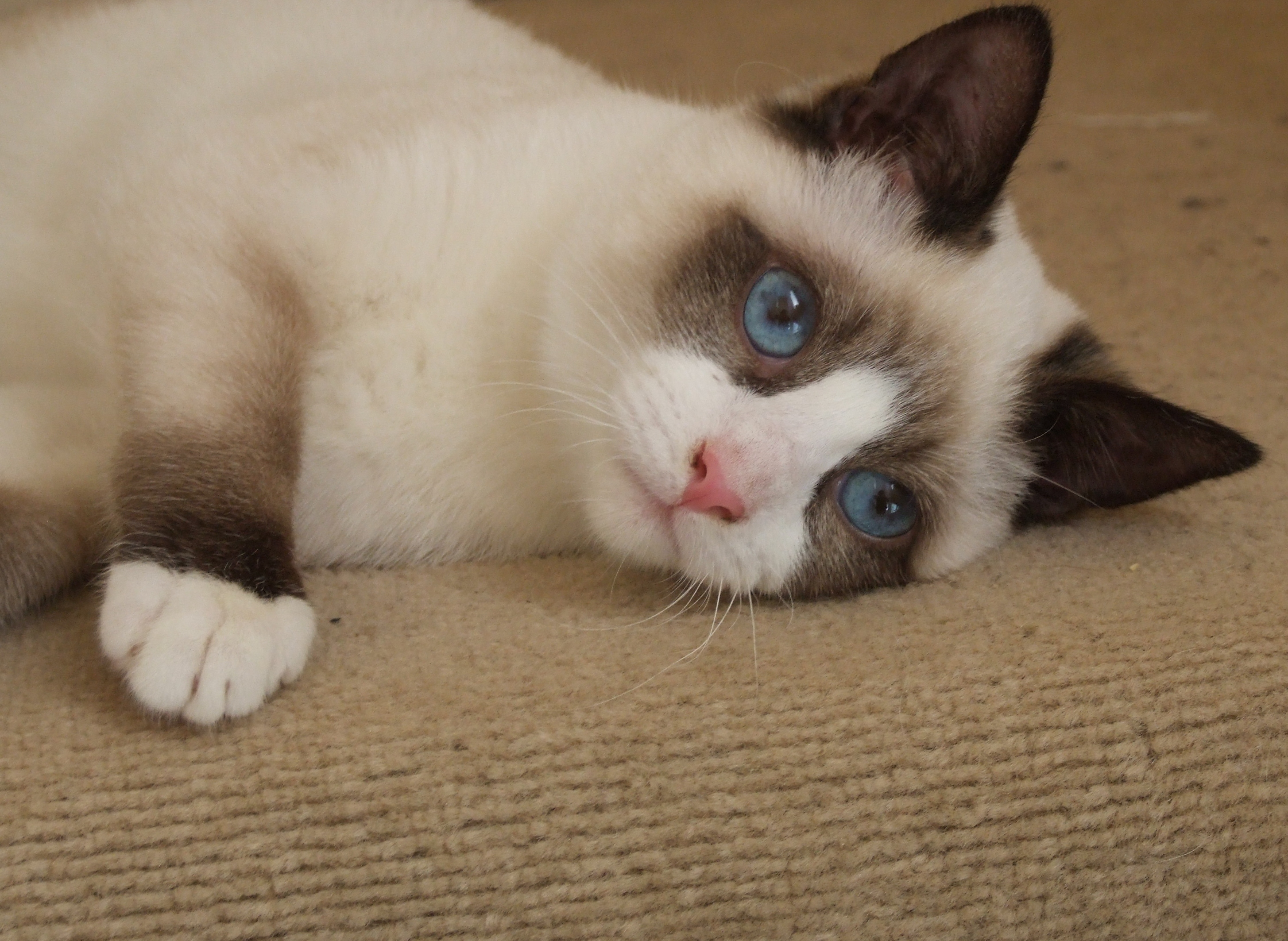 Snowshoe Cat: Snowshoe Snowshoe Breed