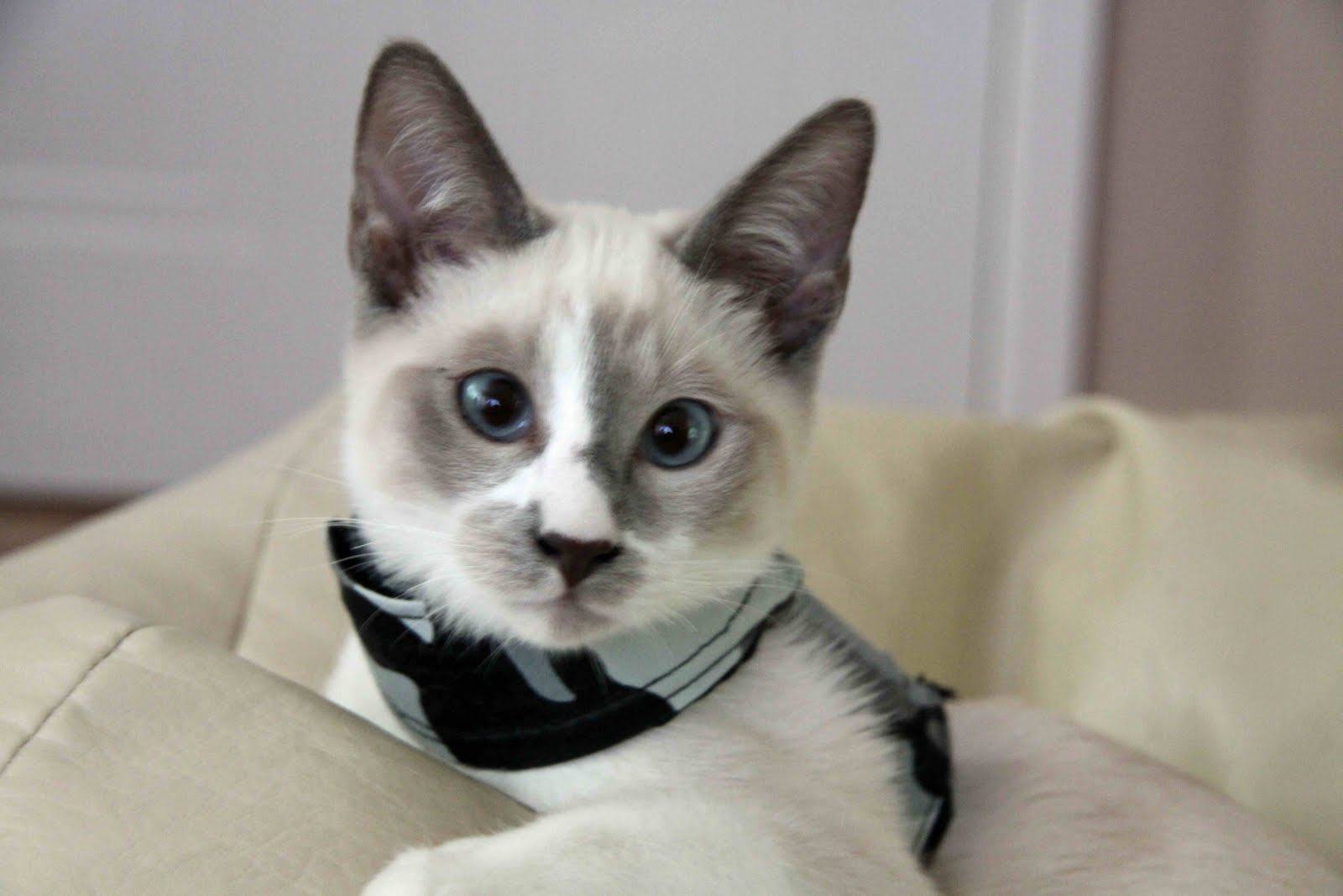 Snowshoe Cat: Snowshoe Snowshoe Cat Breed