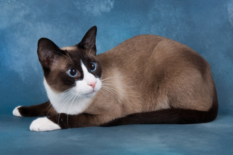 Snowshoe Cat: Snowshoe Snowshoe Cat Pictures Breed