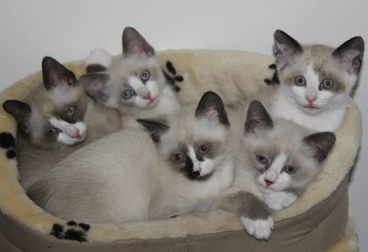 Snowshoe Cat: Snowshoe Snowshoe Cat S Breed