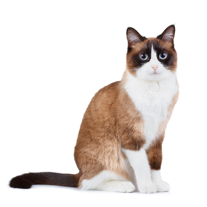 Snowshoe Cat: Snowshoe Snowshoe Cats Breed