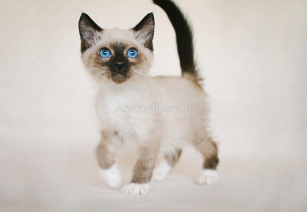 Snowshoe Cat: Snowshoe Snowshoe Kitten Breed