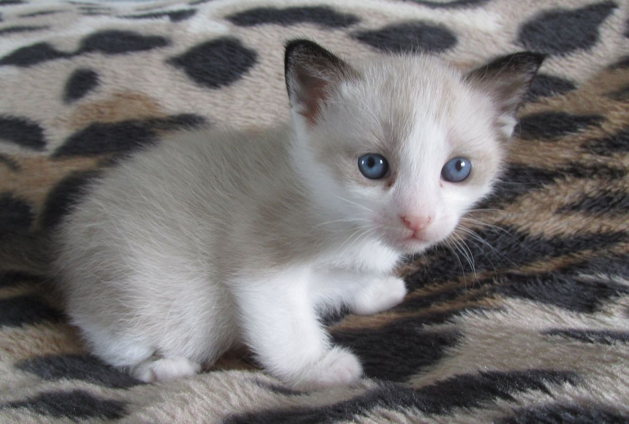 Snowshoe Kitten: Snowshoe Snowshoe Kittens Gccf Registered Chesterfield Breed