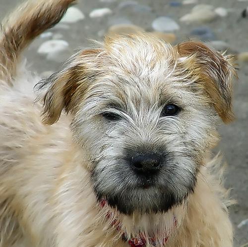 Soft-Coated Wheaten Terrier Dog: Soft Coated Ask The Dog Guide Soft Coated Wheaton Terrier Questions Breed