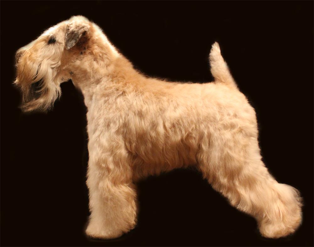 Soft-Coated Wheaten Terrier Dog: Soft Coated Httpccwwwnutrecarecoukcscdog Breedscsoft Coated Wheaten Terrierjpg