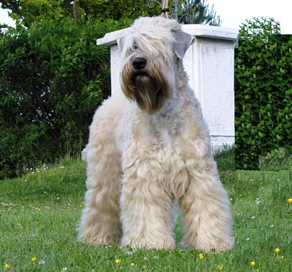 Soft-Coated Wheaten Terrier Dog: Soft Coated Irish Soft Coated Wheaten Terrier Breed