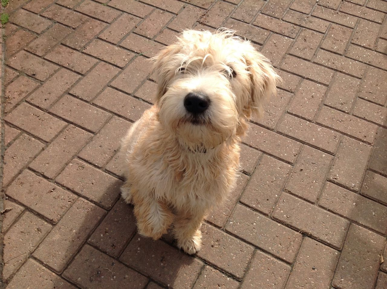 Soft-Coated Wheaten Terrier Puppies: Soft Coated Soft Coated Irish Wheaten Terrier Puppies Whitchurch Breed