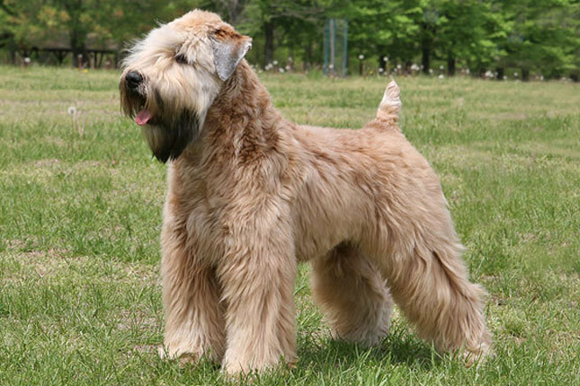 Soft-Coated Wheaten Terrier Puppies: Soft Coated Soft Coated Wheaten Terrier Breed