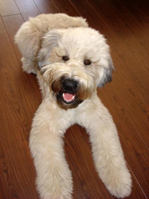 Soft-Coated Wheaten Terrier Dog: Soft Coated Soft Coated Wheaten Terrier Dog Breed