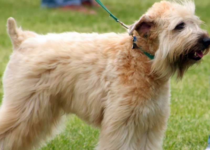 Soft-Coated Wheaten Terrier Dog: Soft Coated Soft Coated Wheaten Terrier Dogs Soft Breed