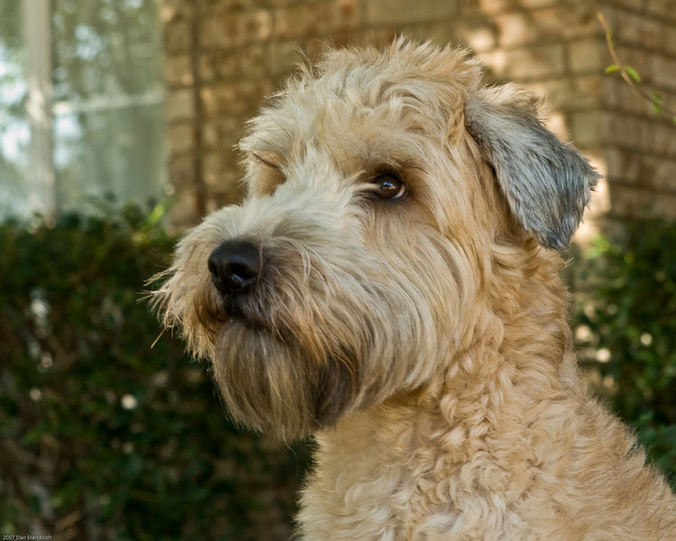 Soft-Coated Wheaten Terrier Puppies: Soft Coated Soft Coated Wheaten Terrier Puppies Breed