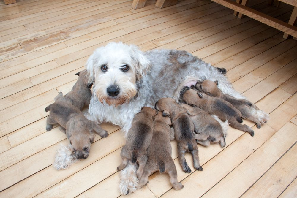 Soft-Coated Wheaten Terrier Puppies: Soft Coated Soft Coated Wheaten Terrier Puppies Halifax Breed