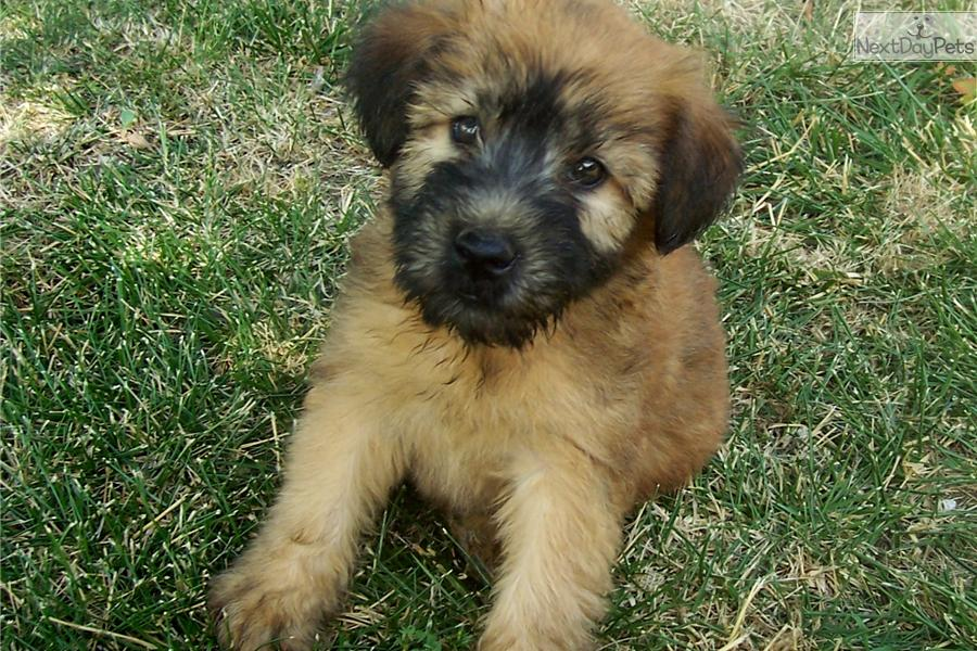 Soft-Coated Wheaten Terrier Puppies: Soft Coated Soft Coated Wheaten Terrier Puppies Top Dog Directory Breed