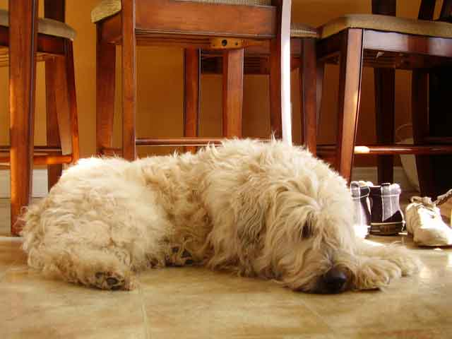 Soft-Coated Wheaten Terrier Dog: Soft Coated Soft Coated Wheaten Terriers Breed