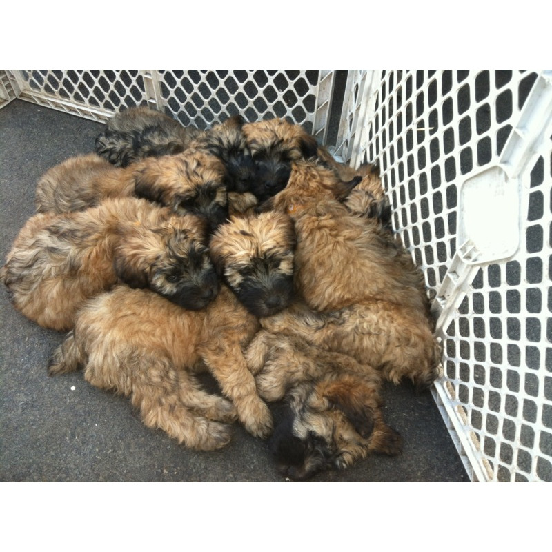 Soft-Coated Wheaten Terrier Puppies: Soft Coated Soft Coated Wheaten Terriers Wheatens O Breed