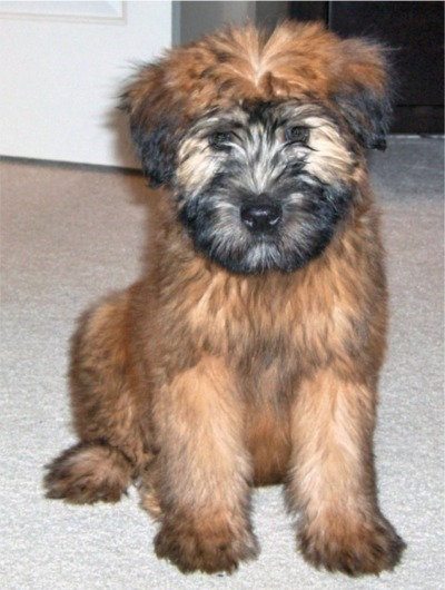 Soft Coated Softcoatedwheatenterrier Breed Wheaten Terriers At Keridown Uk Breeders