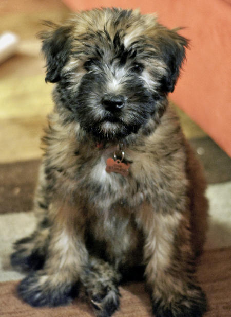 Soft-Coated Wheaten Terrier Puppies: Soft Coated Sophie The Soft Coated Wheaten Terrier Breed