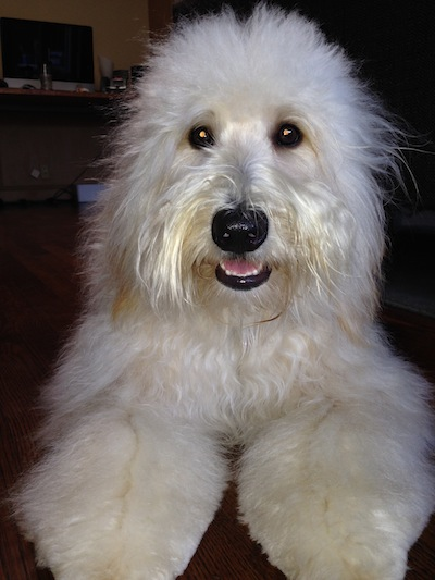 Soft-Coated Wheaten Terrier Dog: Soft Coated Whoodles Breed