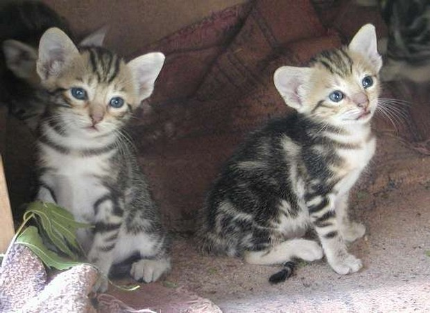 Sokoke Kitten: Sokoke Cat Breed Of The Day Sokoke