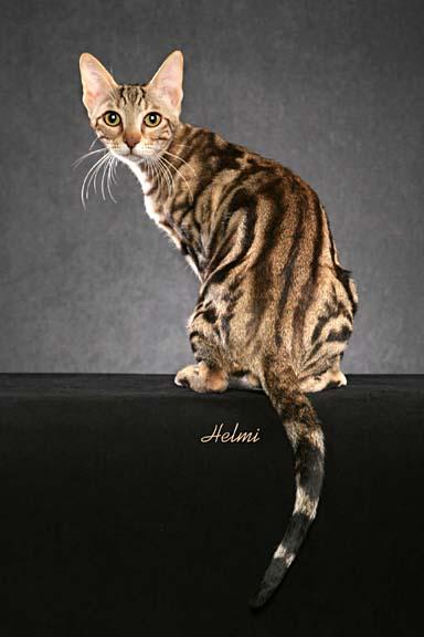 Sokoke Cat: Sokoke Crbtligtpdhrlbnm Breed