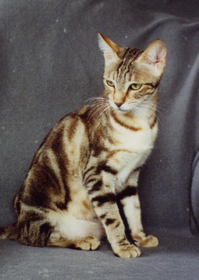 Sokoke Kitten: Sokoke En Furahi Breed