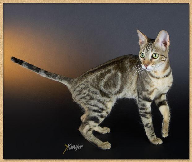 Sokoke Cat: Sokoke En Show Breed