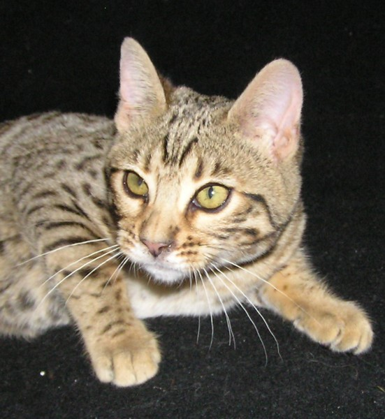 Sokoke Kitten: Sokoke Indexe Breed