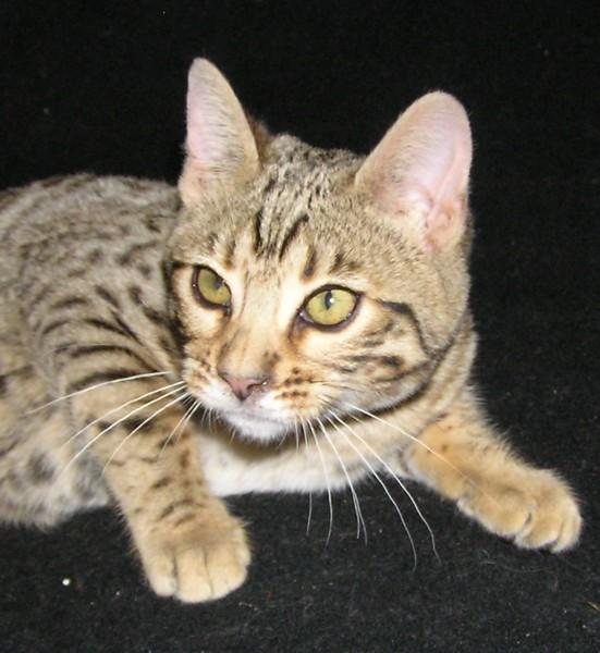 Sokoke Kitten: Sokoke Indexe Breed