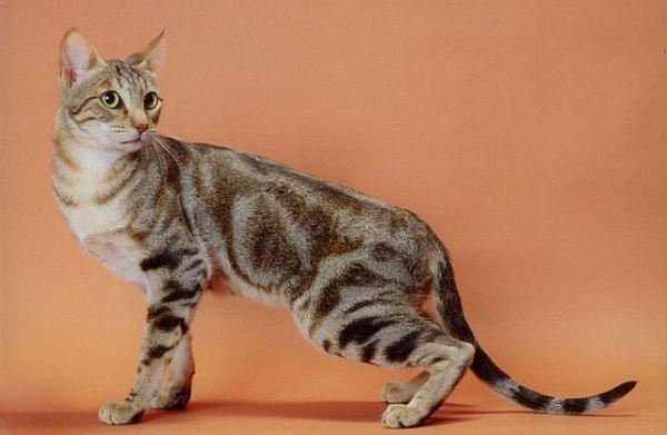 Sokoke Cat: Sokoke Page Breed